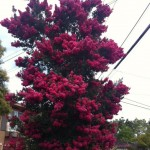 Crapemyrtle Tree (Tonto)