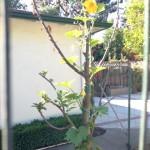 zucchini tree
